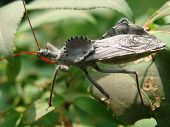 stock photo of rose sharon  - Assassin Bug crawling on Rose of Sharon bush - JPG