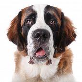 Adorable Saint Bernard Purebred Puppy poster