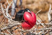 Frigatebird on Galapagos islands. Magnificent Frigate-bird on North Seymour Island, The Galapagos Is poster