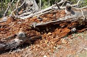 Large Tree Trunk Fallen To Ground After Being Completely Destroyed By Termites Surrounded With Dried poster