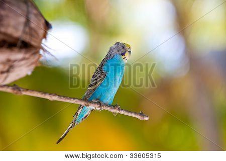 Budgerigars shell parakeet on branch