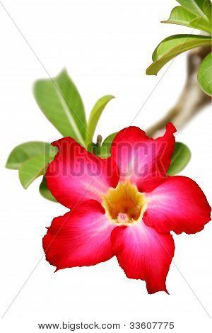 Desert rose flower closeup