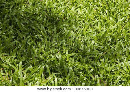 Tropical carpet grass background