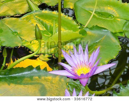 Nymphaea, King of the Blues, tropische Seerose