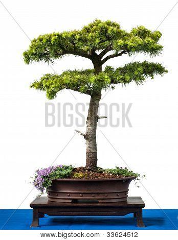 Conifer Cyprus Cedar As Bonsai Tree