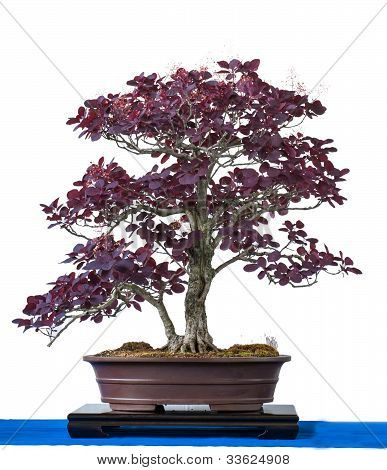 Purple Smoke Bush As Bonsai Tree