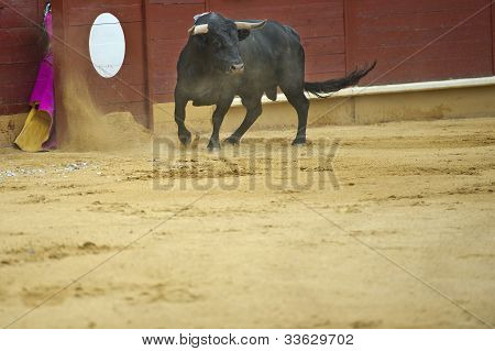 Bull In The Arena.