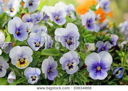 Pensies Flowers