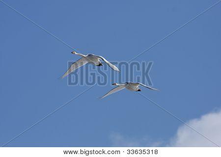 White Cygnus cygnus