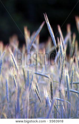 Wheat01