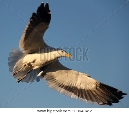 Kelp gull in flight  Larus dominicanus