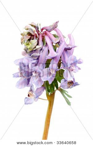 Flower Corydalis Halleri . Spring Close-up.