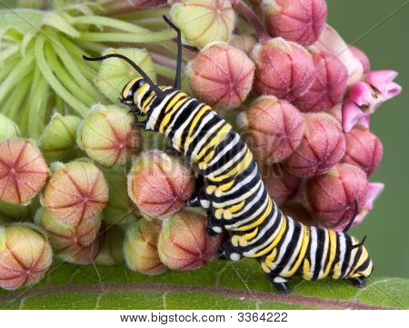Monarch Caterpillar On Milkweed B