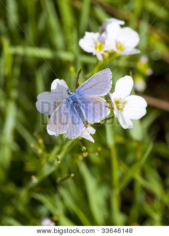 Common Blue Butterfly On Milk Maid Flowers