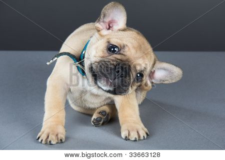 French Bulldog Puppy With Head Cocked To Side, Looking Straight At Camera & Scratching