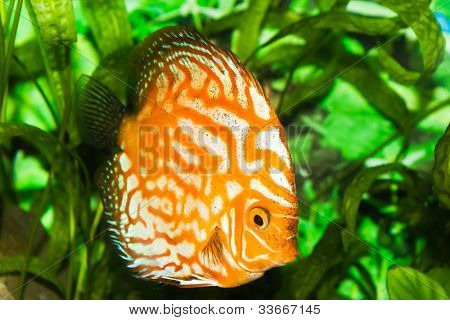 orange discus fish in aquarium with green plants