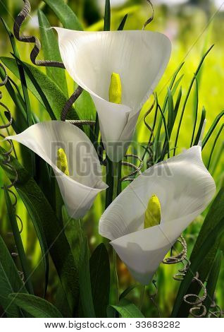 Calla Lilies Rendered