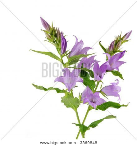 Creeping Bellflower