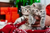 Two Adorable Christmas Kittens In Male Hands Under Christmas Tree, Like A Gift For Kids For Christma poster