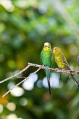 Budgerigars shell parakeet on branch