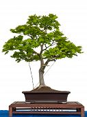foto of bonsai tree  - Acer sirasawanum aureum as bonsai tree is white isolated - JPG