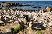 Goat, Coast Of Sea, Unique Rocky Coast On The Island Of Bornholm, Steintürmchenstrand poster