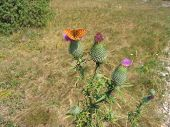stock photo of welts  - Fritillary butterfly on the blowing welted thistle flower - JPG