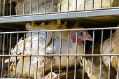 Close Up On White Turkey In Cages In The Transport Truck, Bad Conditions And Inhumane Livestock And  poster