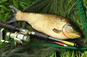 The White Amur or Grass Carp (Ctenopharyngodon idella) grow large and are strong fighters on a rod a