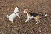 Jack Russell Terrier Puppy And English Beagle Puppy Are Playing In The Autumn Park. Pet Animals. poster
