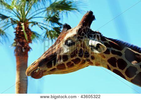 Giraffe head in the trees