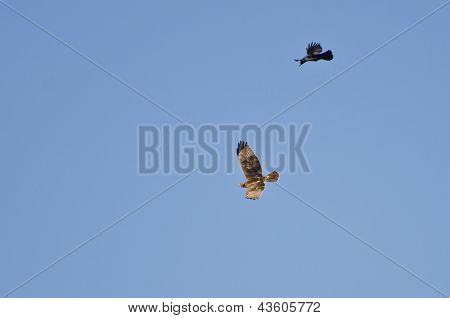Hawk And Crow Engaged In Aerial Combat