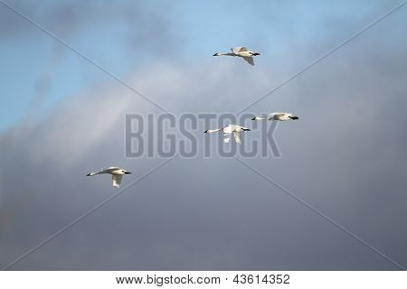 Tundra Swans Migrating In Spring