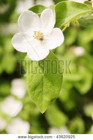 Blooming Quince
