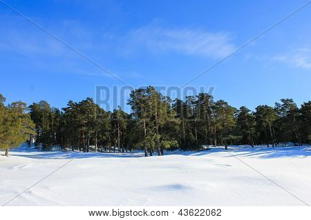 Pine-tree forest in winter