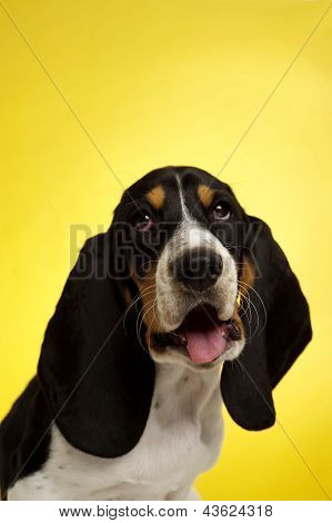 Basset Hound Puppy On A Yellow Background