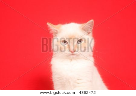 White Kitten And Red Background