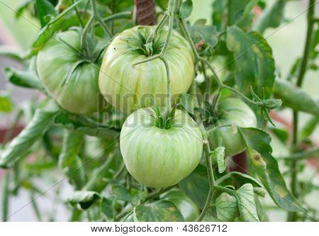 Green Tomatos On The Bush