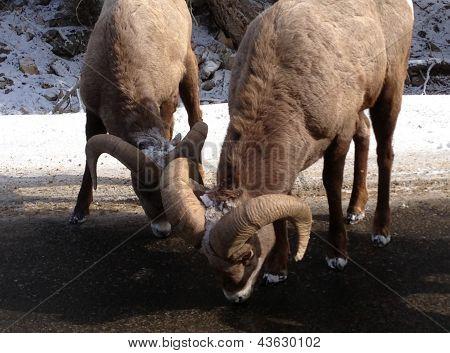 Big Horn Sheep at Big Sky, Montana