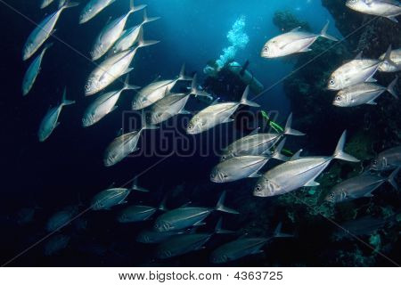 Fishes (tunas)  And Diver.