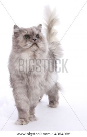 A Gray Persian Standing Posed