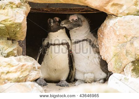 African Penguins Collecting Nesting Material
