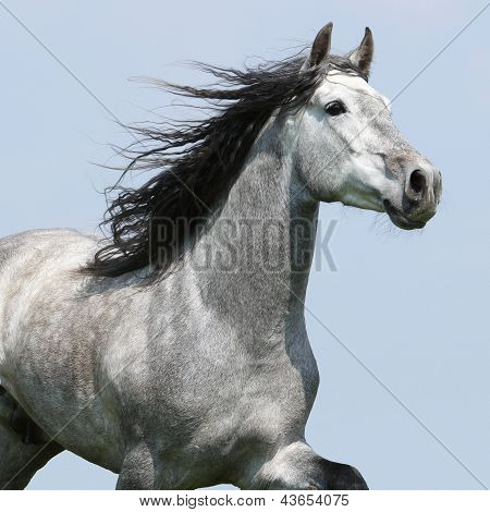 Carthusian Horse Isolated On Blue Background