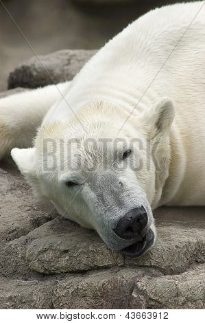 Polar Bear Asleep on Rocks