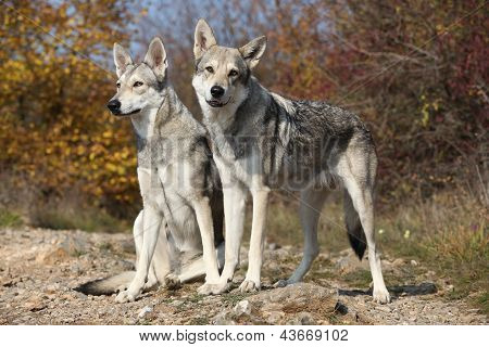 Saarloos Wolfhounds