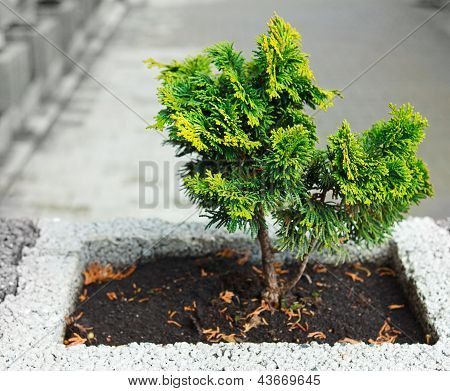 Young Thuja Occidentalis In A Flower Pot Or Jardiniere