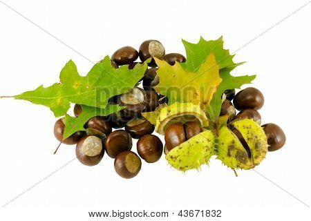 Autumn Chestnut Whit Decorative Oak Leaves