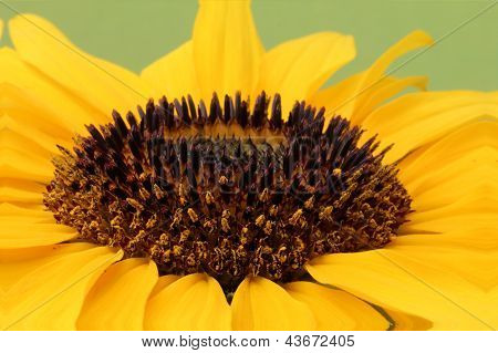 Open yellow blossom of sunflower