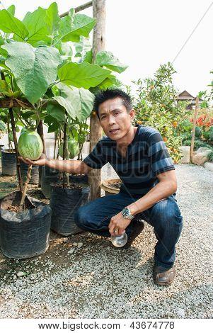 The Man  Picking An Big Eggplant On Branch Tree.