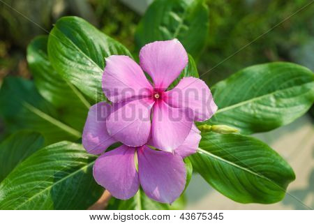 The beauty Vinca flower